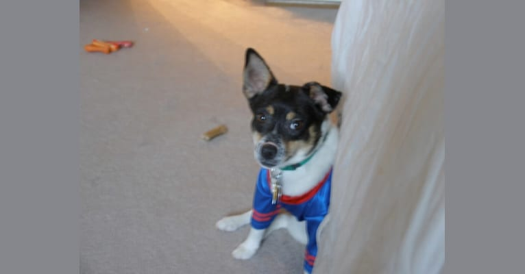 Photo of Rocco, a Russell-type Terrier, Rat Terrier, American Eskimo Dog, and Mixed mix in Nebraska, USA