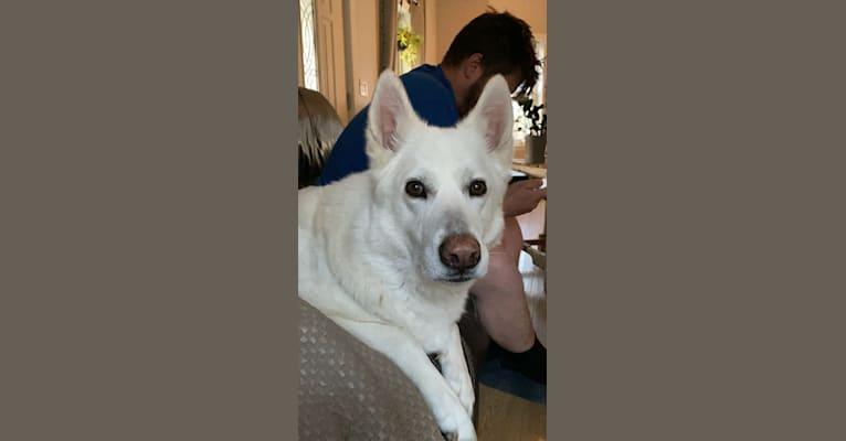 Photo of Koda, a Siberian Husky, German Shepherd Dog, Great Pyrenees, and Alaskan Malamute mix in Texas, USA