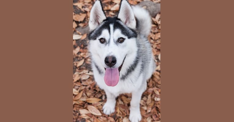 Photo of Romeo, a Siberian Husky and Alaskan Malamute mix in Oakland, California, USA
