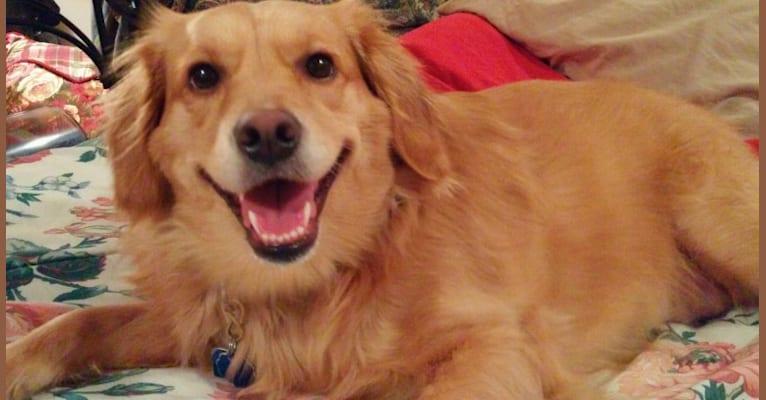 Photo of Bella, a Golden Retriever, Pomeranian, Beagle, and Dachshund mix in Twining, Michigan, USA