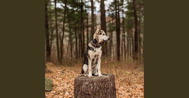 Photo of Finn, an Alaskan Malamute, Beagle, and German Shepherd Dog mix in Fredericksburg, Virginia, USA