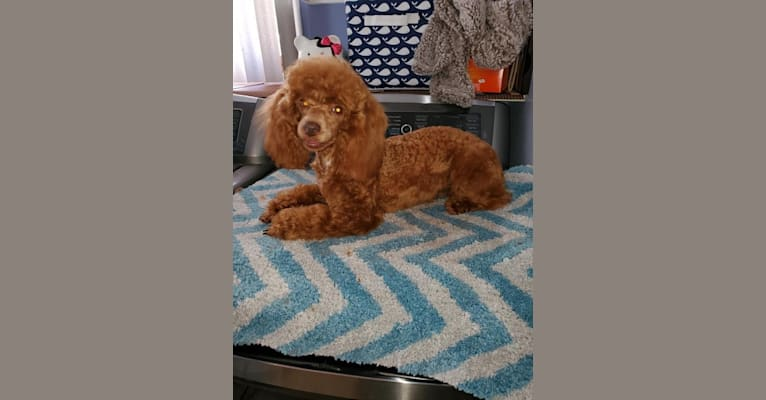 Photo of Ruby, a Poodle (Small)  in California, USA