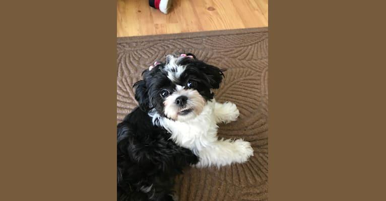 Photo of Boo, a Zuchon  in Missouri, USA