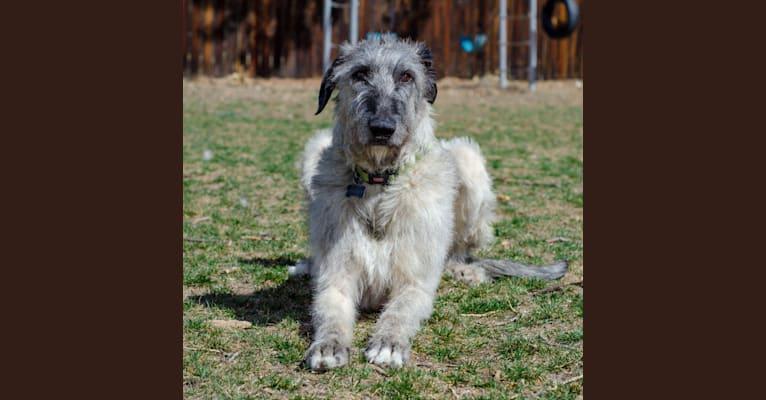 Photo of Shadow, an Irish Wolfhound  in Denver, Colorado, USA