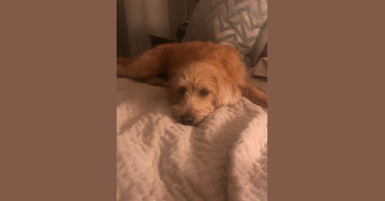 Photo of Luna, a Labradoodle  in Gordonville, PA, USA
