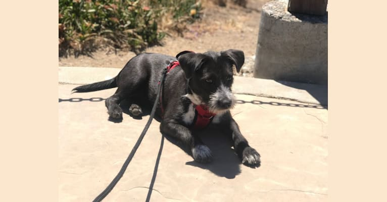 Photo of Joule, an American Bully, Miniature Schnauzer, Australian Cattle Dog, and Chihuahua mix in Stockton, California, USA