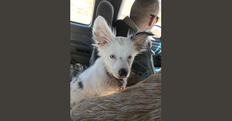 """Photo of Perseus """"Buddy"""", an Australian Shepherd Group  in Entiat, WA, USA"""
