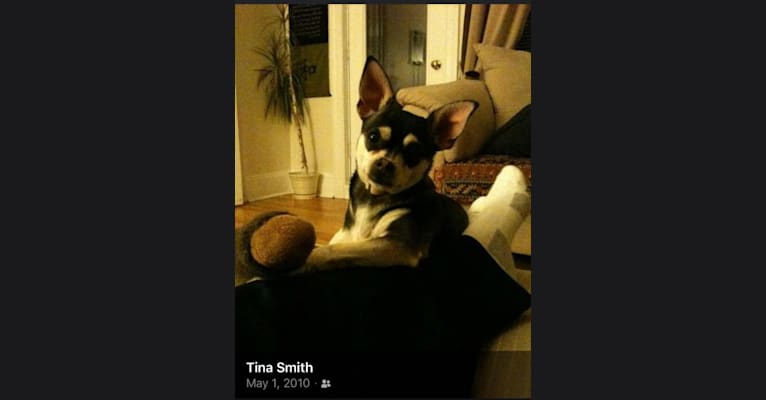 Photo of Bruce Wayne Smith, a Chihuahua, Toy Fox Terrier, and Poodle (Small) mix in Bastrop, Texas, USA