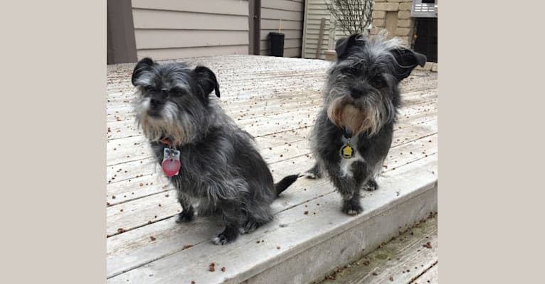 Photo of Chewbacca, a Chihuahua, Poodle (Small), Rat Terrier, and Maltese mix in Mequon, Wisconsin, USA