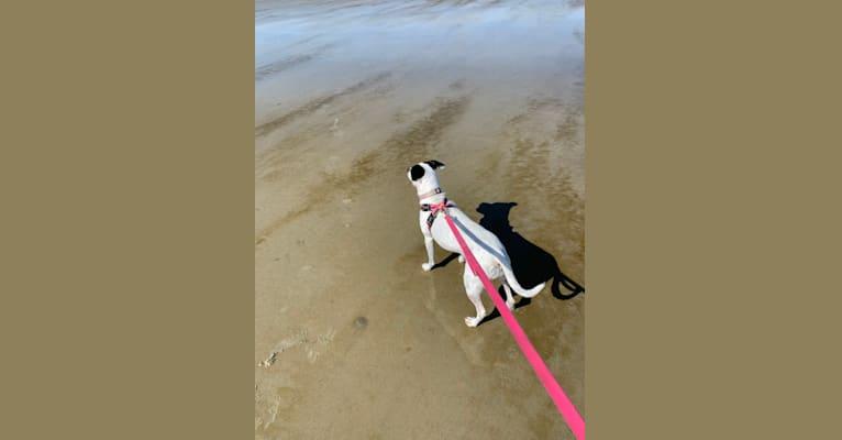 Photo of Lulu, an American Pit Bull Terrier, Boston Terrier, Pomeranian, and Mixed mix in Brunswick, Georgia, USA