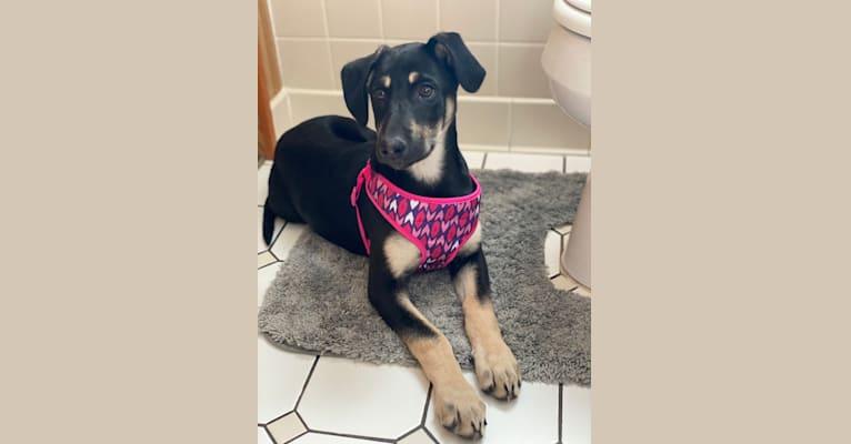 Photo of Nala Gholson, a German Shepherd Dog, Mountain Cur, Bluetick Coonhound, and Golden Retriever mix in Arkansas, USA