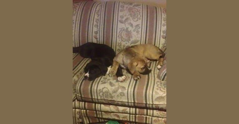 Photo of Chubs, an American Bulldog, Siberian Husky, and Labrador Retriever mix in Salineville, Ohio, USA