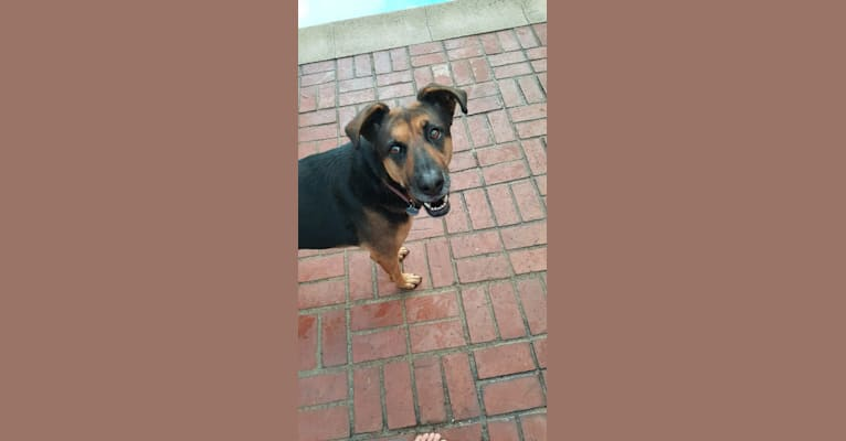 Photo of Mocha, a German Shepherd Dog, Boxer, and Rottweiler mix in California, USA