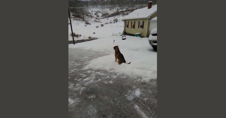 Photo of Bucco, an American English Coonhound, Labrador Retriever, Rottweiler, and Golden Retriever mix in State College, Pennsylvania, USA