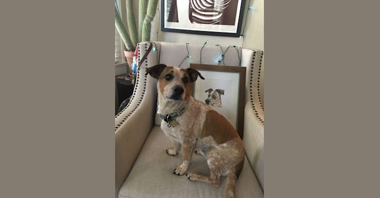 Photo of Goose, a Chihuahua, Australian Cattle Dog, Russell-type Terrier, Dachshund, and Mixed mix in Austin, Texas, USA