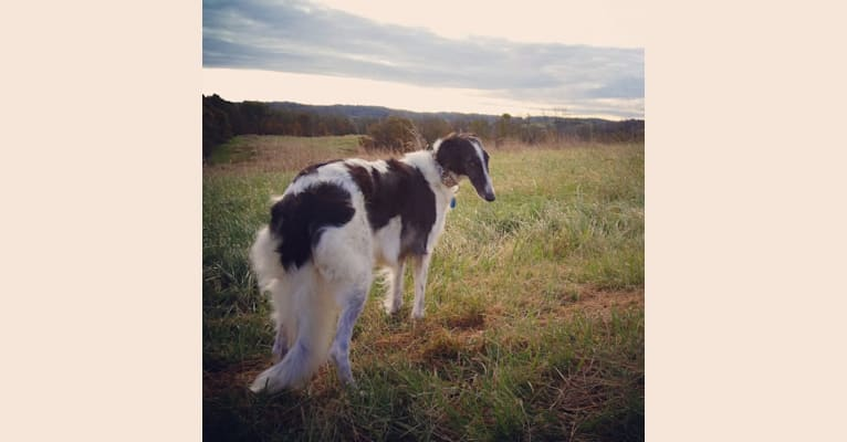 Photo of Masha, a Borzoi  in Rutherfordton, NC, USA