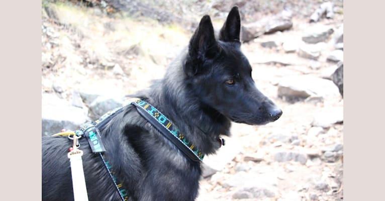 Photo of Ame, a Belgian Sheepdog, German Shepherd Dog, and Siberian Husky mix in Croatia