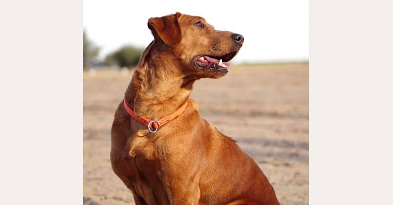 Photo of Ammo, a Labrador Retriever