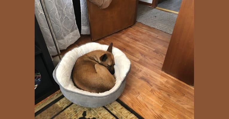 Photo of Matylda, a Boxer, Chihuahua, and Mixed mix in Fresno, California, USA