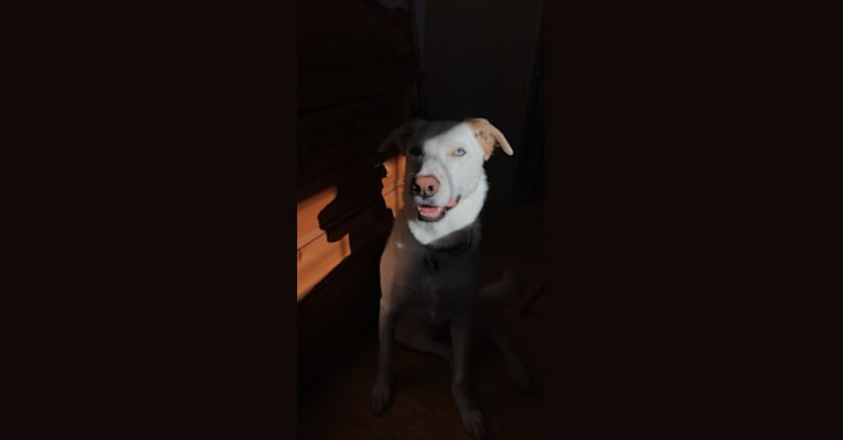 Photo of Scout, a German Shepherd Dog, American Pit Bull Terrier, and Mixed mix in Clayton, North Carolina, USA