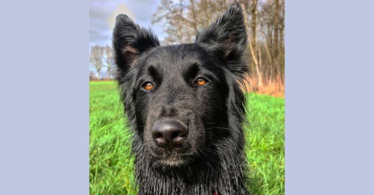Photo of Kiba, a German Shepherd Dog, Siberian Husky, Belgian Sheepdog, Samoyed, and Mixed mix in België