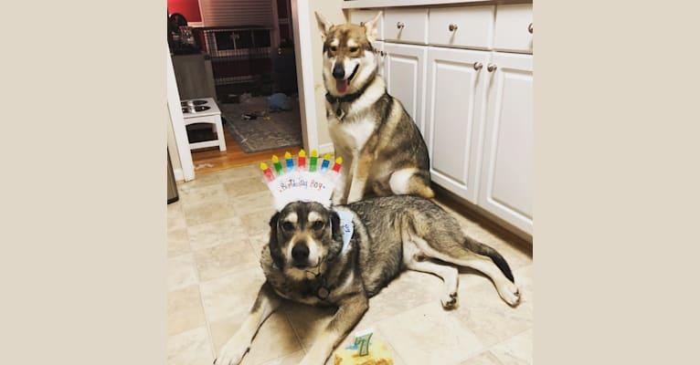 Photo of Frey, a Siberian Husky, Czechoslovakian Vlcak, German Shepherd Dog, and Alaskan Malamute mix in Cheyenne, WY, USA
