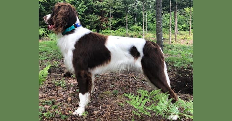 Photo of Mango DeCambrésis, a French Spaniel  in Lac-Beauport, QC, Canada