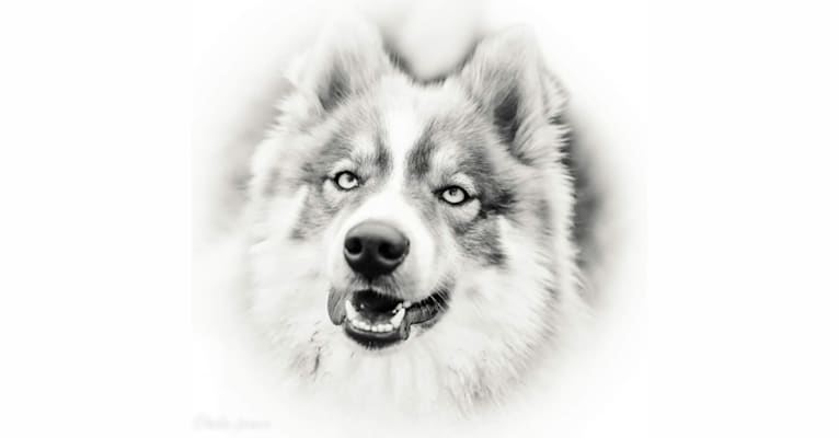 Photo of Leyla, a Pomsky  in Lampeter, Regno Unito