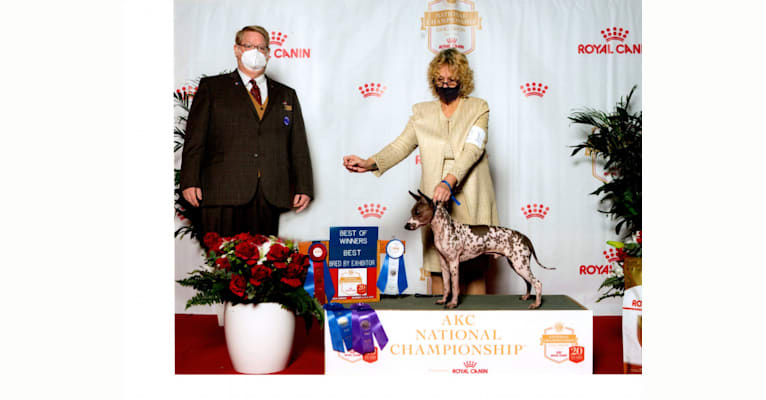 Photo of Liberty's Rewind Time, an American Hairless Terrier  in 1272 Kenworth Drive, Apopka, FL, USA