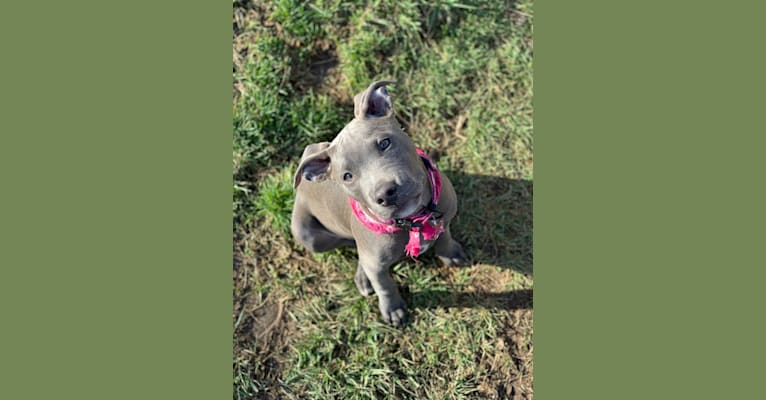 Photo of Storm, an American Pit Bull Terrier, American Staffordshire Terrier, and Cane Corso mix in Oil City, Pennsylvania, USA