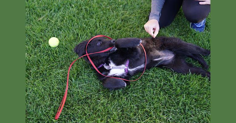 Photo of Leela, an Australian Shepherd, Labrador Retriever, and Australian Cattle Dog mix in Chicago, Illinois, USA