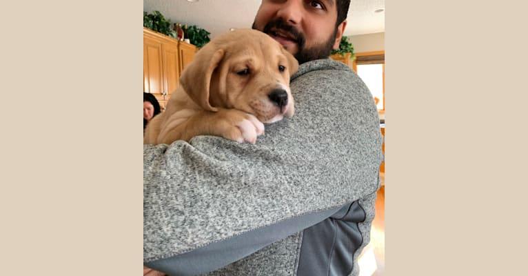 Photo of Hunter, a Bulldog, American Pit Bull Terrier, Labrador Retriever, Golden Retriever, Rottweiler, and Mixed mix in North Dakota, USA