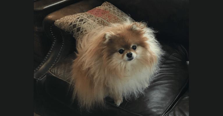 Photo of Mini, a Pomeranian  in Philadelphia, Pennsylvania, USA
