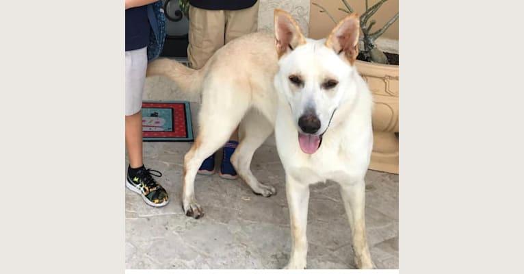 Photo of Lucy, a German Shepherd Dog  in Miami, Florida, USA