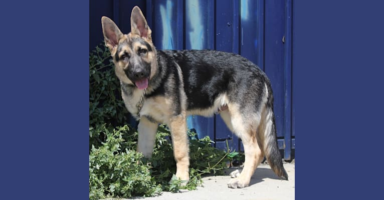 Photo of Blitz, a German Shepherd Dog  in Valparaiso, Indiana, USA