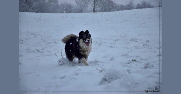 Photo of Olwyn, a Yakutian Laika  in Arinthod, France