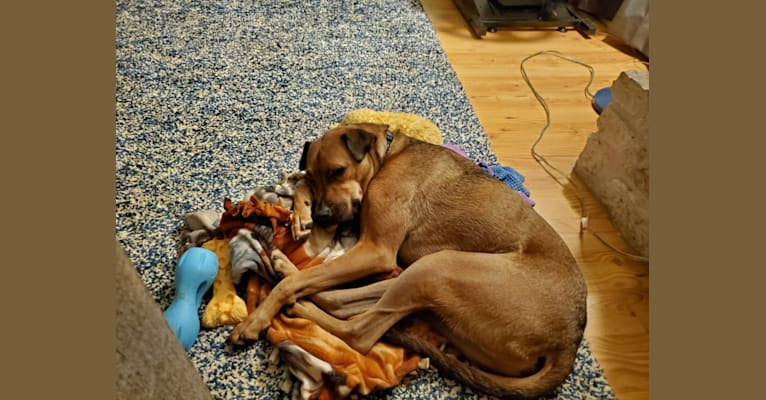 Photo of Walter, a Boxer, American Pit Bull Terrier, and Mixed mix in San Antonio, Texas, USA