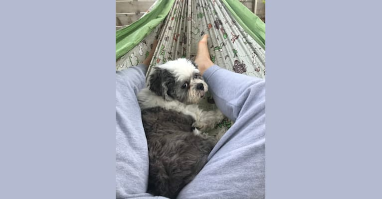 Photo of Boogie, a Lhasa Apso  in Chicago, Illinois, USA