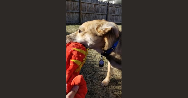 Photo of Rocky, a German Shepherd Dog, American Pit Bull Terrier, Labrador Retriever, and Mixed mix in Arkansas, USA