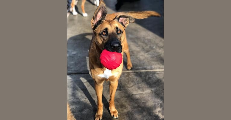 Photo of Elsa, a German Shepherd Dog and Boxer mix in Cañon City, Colorado, USA