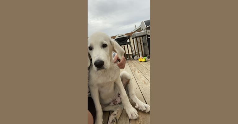 Photo of Keebler, a Great Pyrenees and Sarplaninac mix in Oklahoma, USA