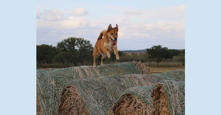 Photo of Gatsby, an Australian Shepherd and Chow Chow mix in San Antonio, Texas, USA