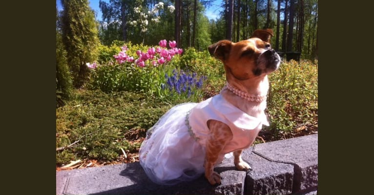 Photo of Peppi Samantha, an Eastern European Village Dog and Pekingese mix in Bukarest, Bucharest, Romania
