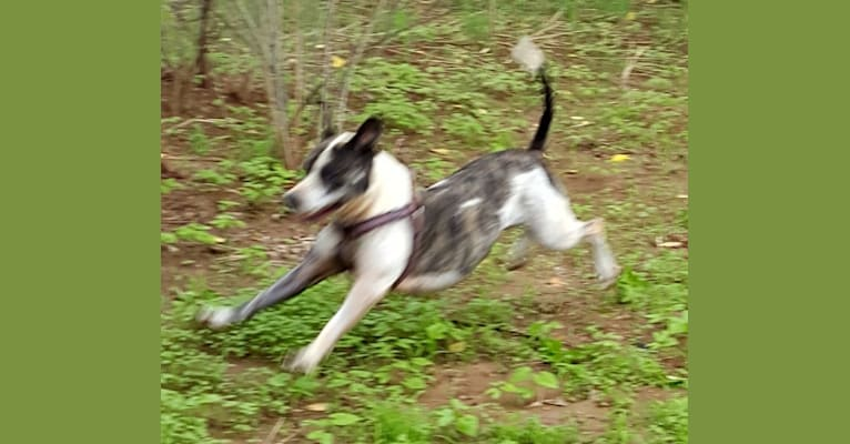 Photo of Makala, an American Pit Bull Terrier mix in Amado, Arizona, USA