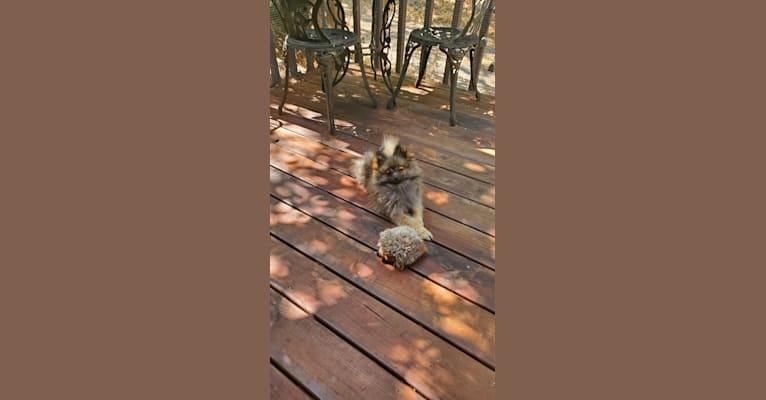 Photo of Grizzy, a Pomeranian  in Sacramento, California, USA