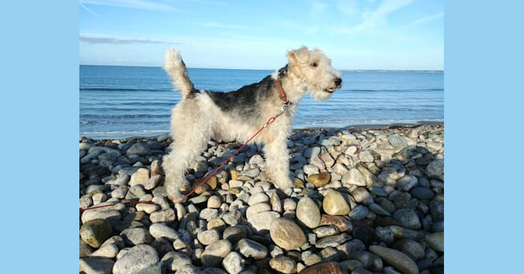 Photo of Finn of Patch Hill, a Wire Fox Terrier  in Lapeer, Michigan, USA