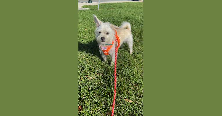 Photo of Bao, a Chihuahua, Pekingese, Poodle (Small), and Mixed mix in South Carolina, USA