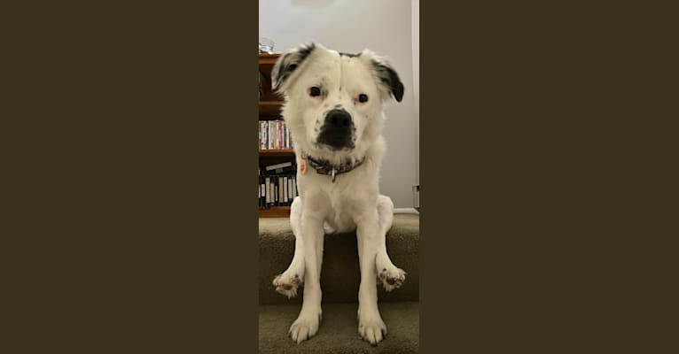 Photo of Mack, an American Pit Bull Terrier, Shih Tzu, Chow Chow, and Mixed mix in East Greenbush, New York, USA