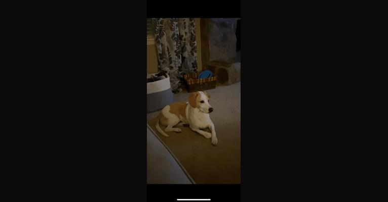 Photo of Arlo, a Basset Hound, Australian Cattle Dog, Australian Shepherd, Beagle, and Rat Terrier mix in Warner Robins, Georgia, USA
