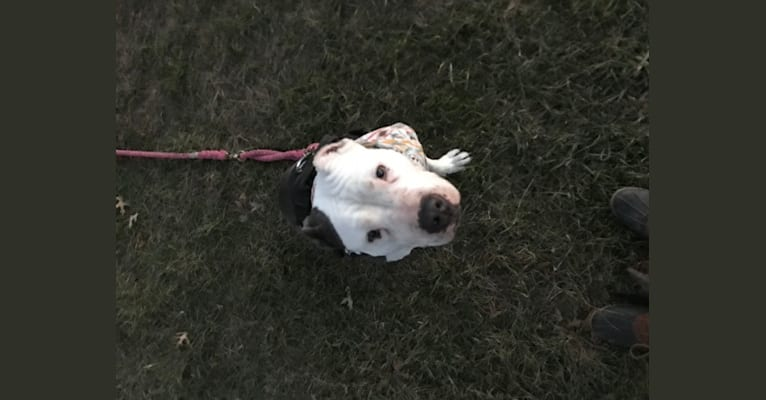 Photo of Swizzy, an American Staffordshire Terrier  in Elmont, New York, USA